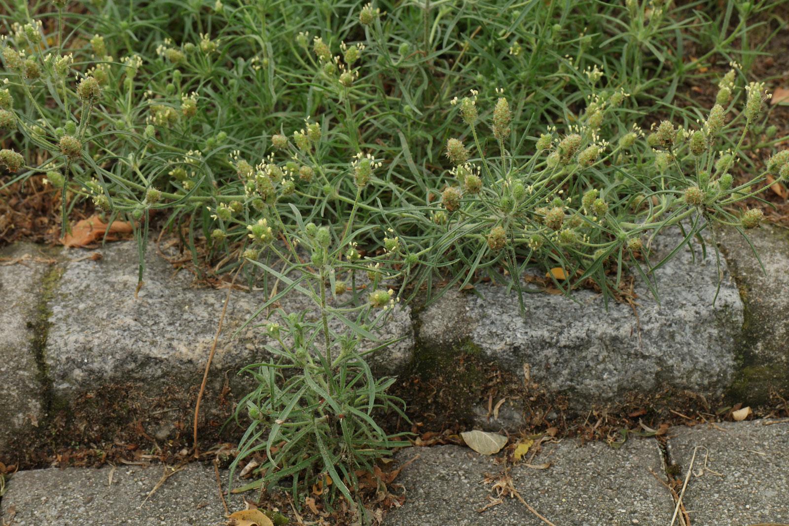 Plantago arenaria