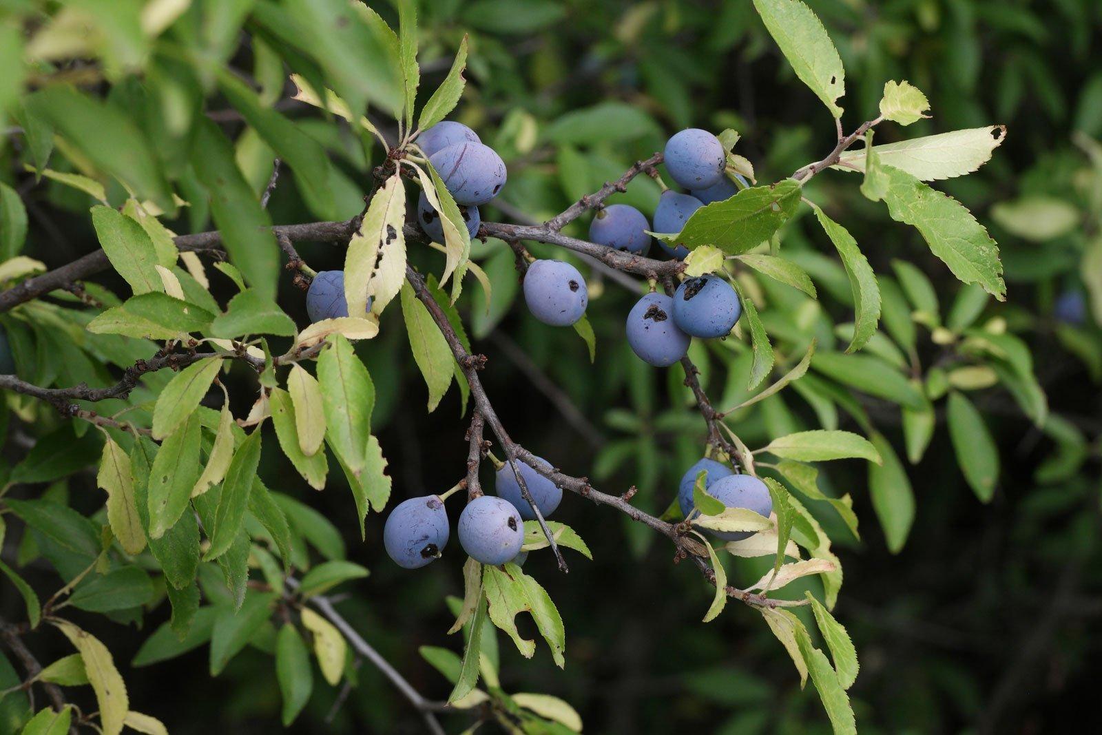 Prunus spinosa Schlehe