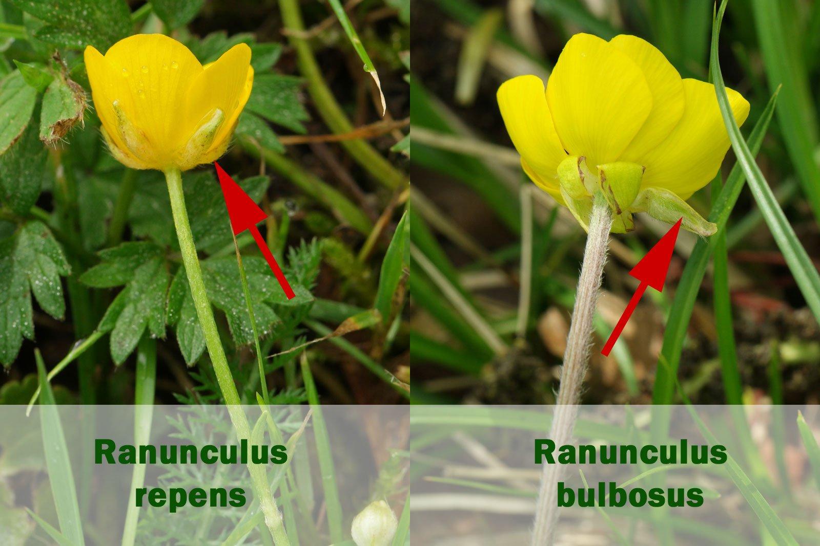 Ranunculus repens bulbosus