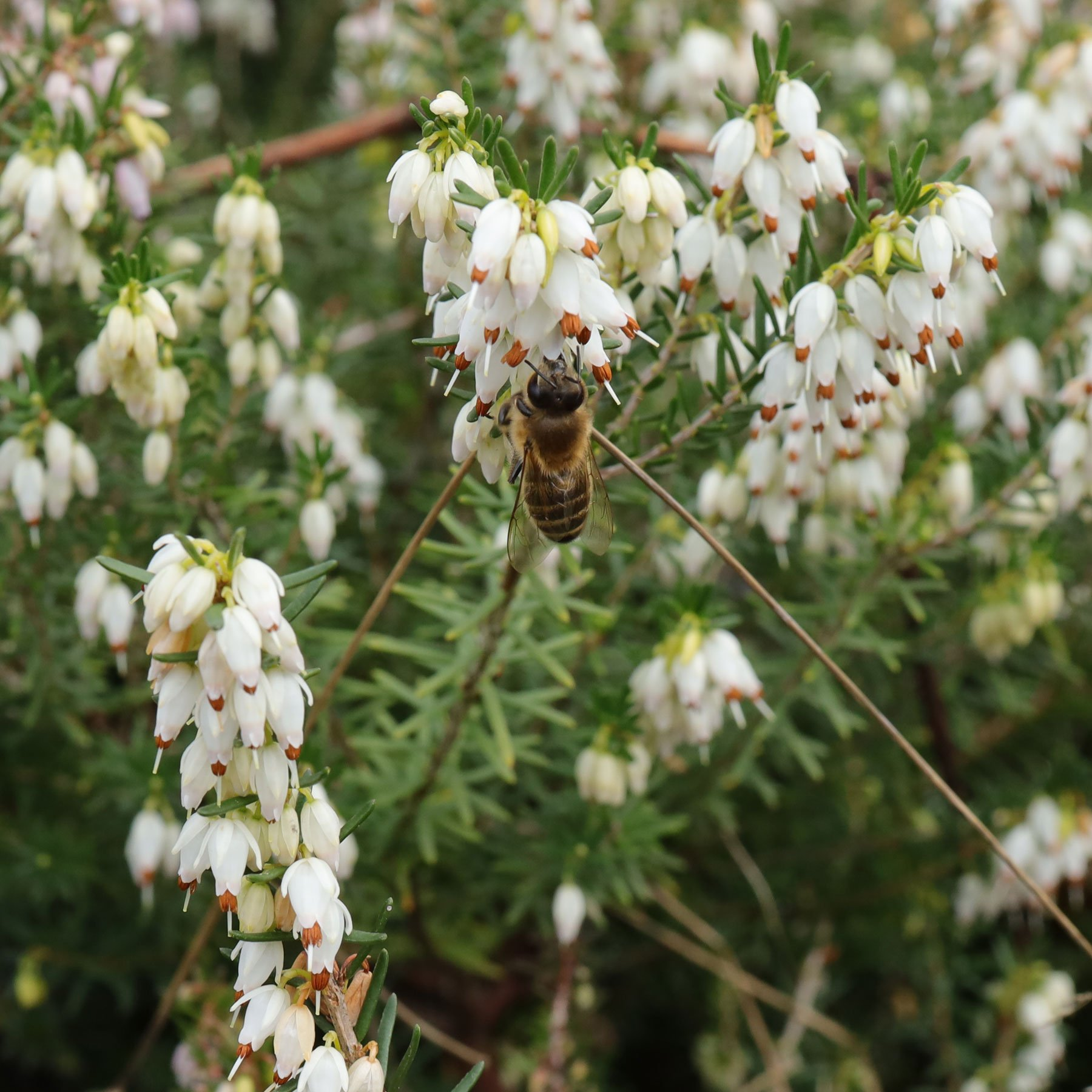 Schneeheide mit Honigbiene