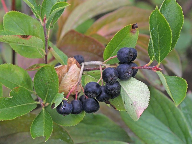 Schwarze Apfelbeeren