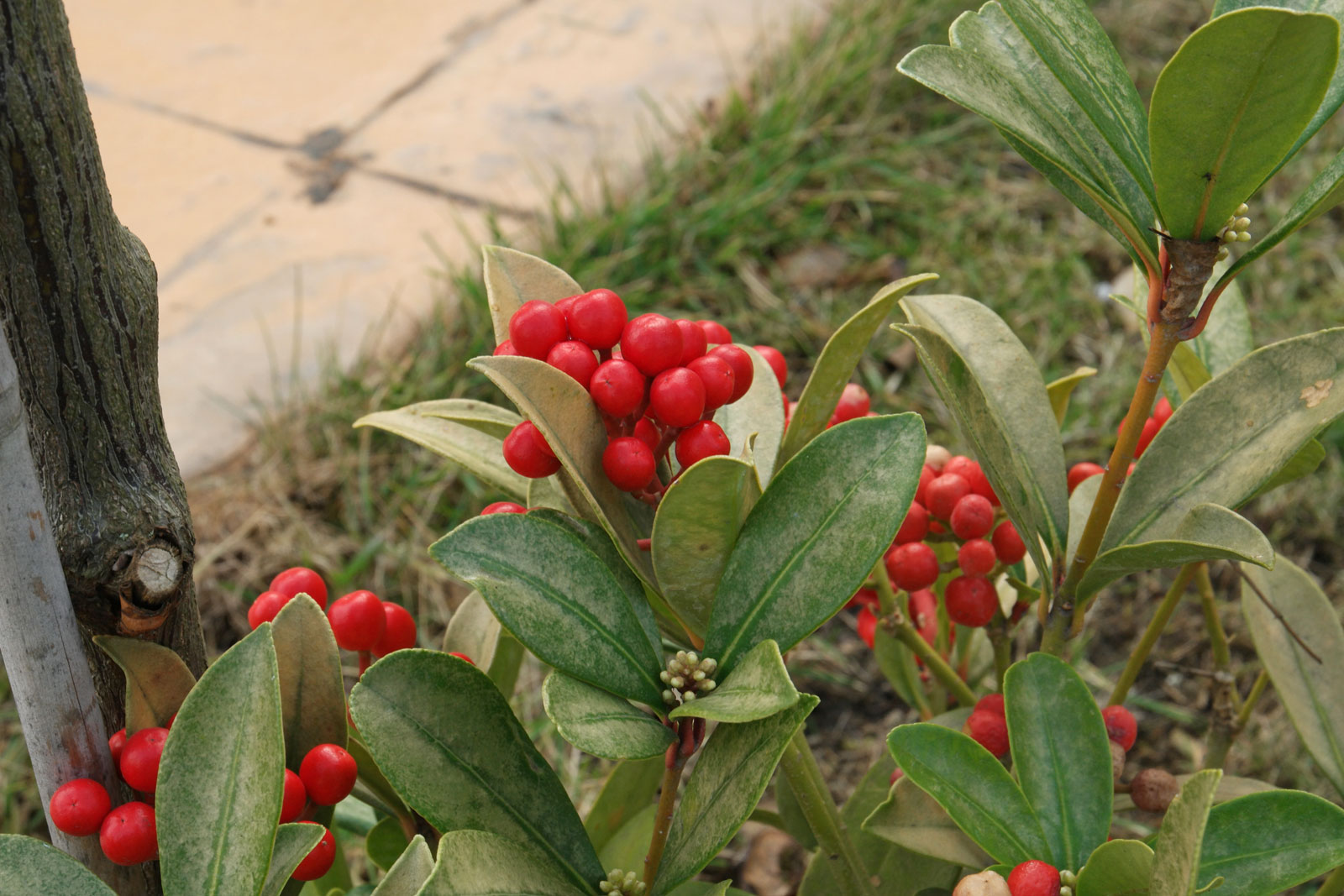 Skimmia japonica