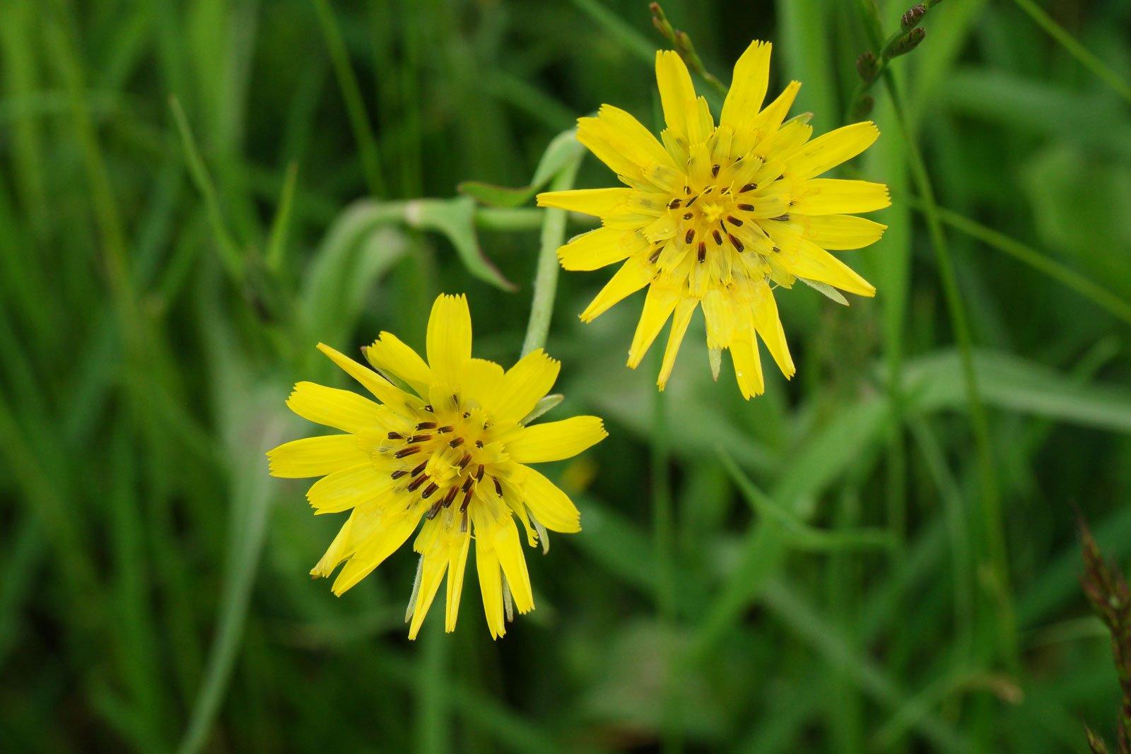 Tragopogon pratensis
