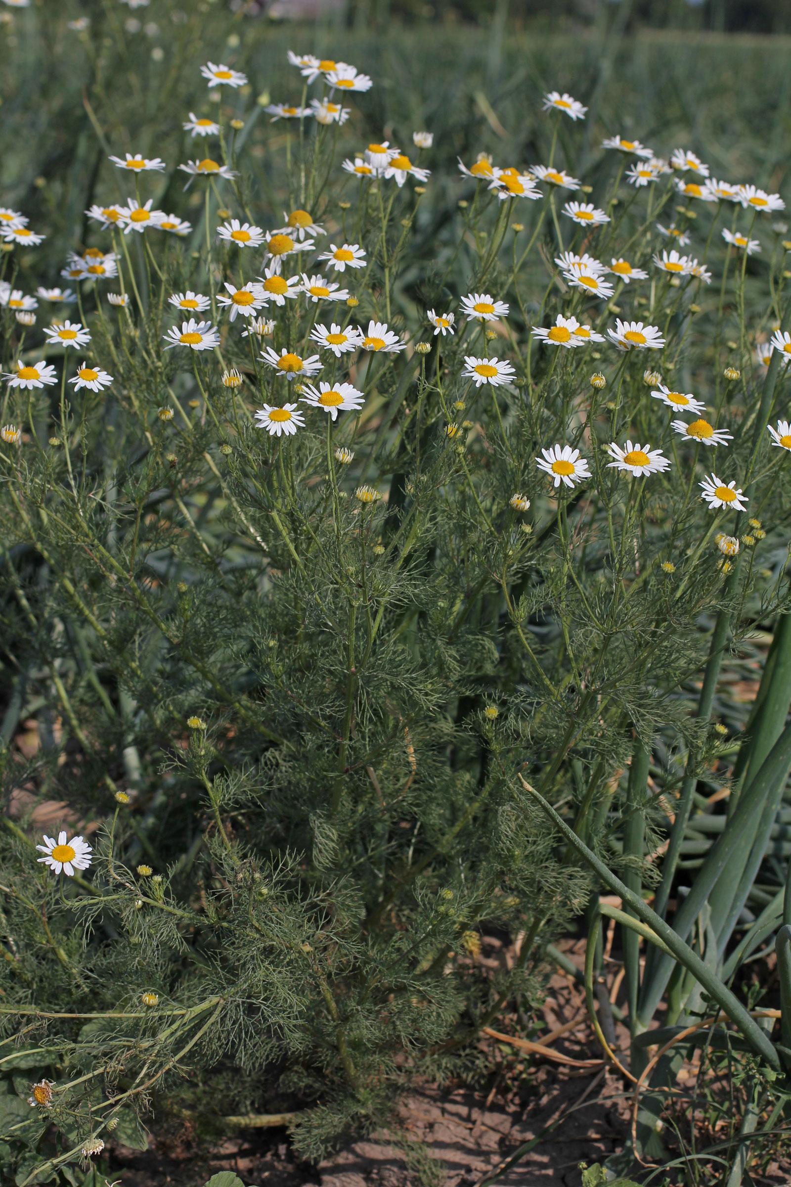 Tripleurospermum maritimum ssp. inodorum