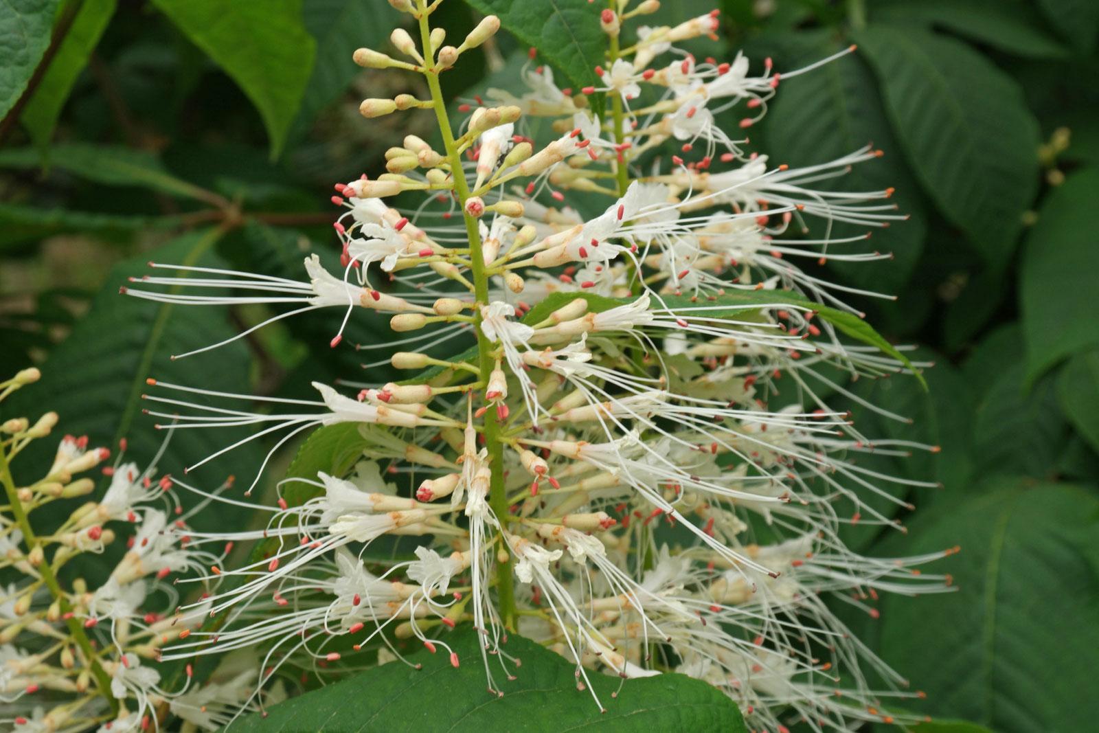 Aesculus parviflora