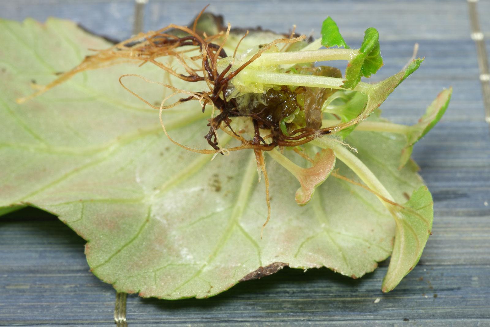 Begonia × hiemalis