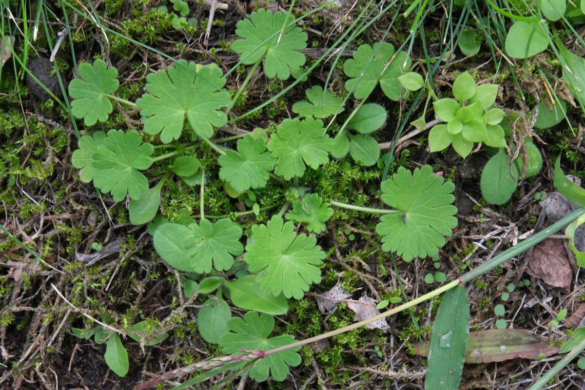 Geranium pyrenaicum