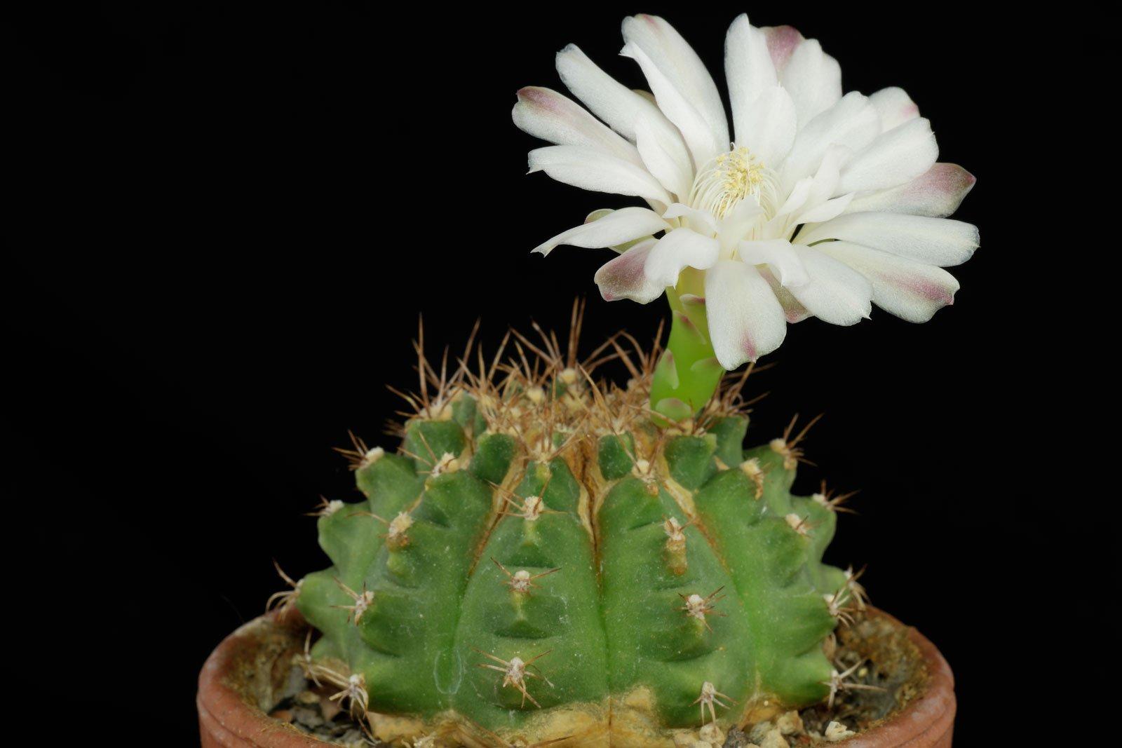 Gymnocalycium anisitsii ssp. anisitsii