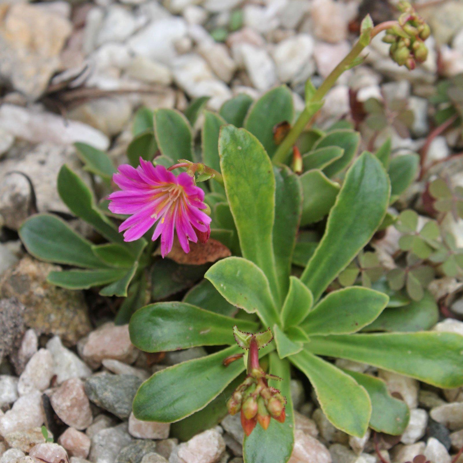 Lewisia cotyledon cv.