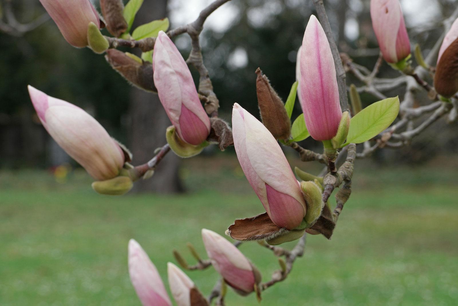 Magnolia × soulangeana
