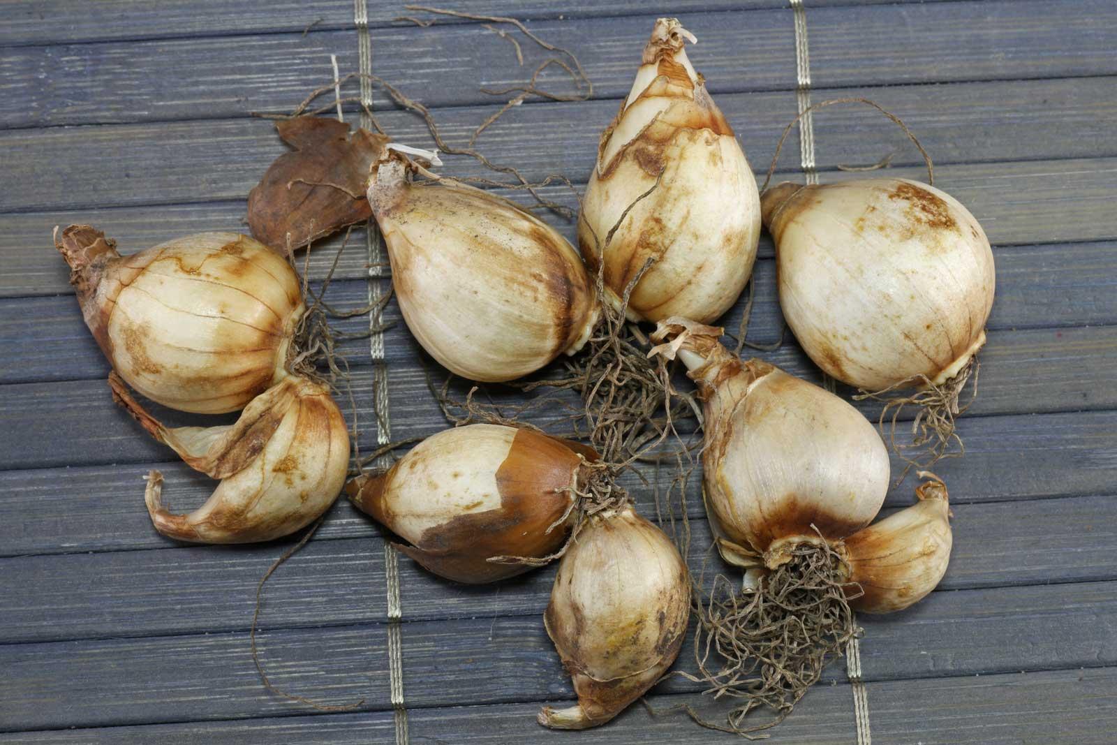 Narcissus bulbocodium Spoirot Knollen