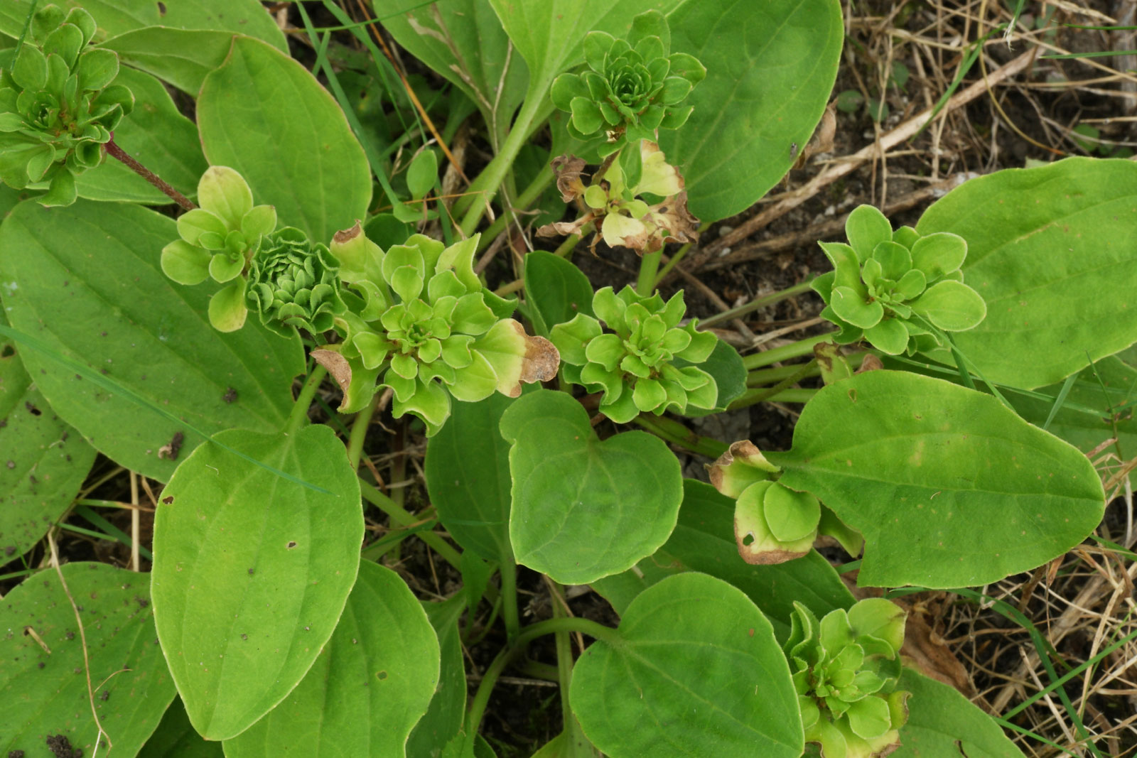 Plantago major Rosularis