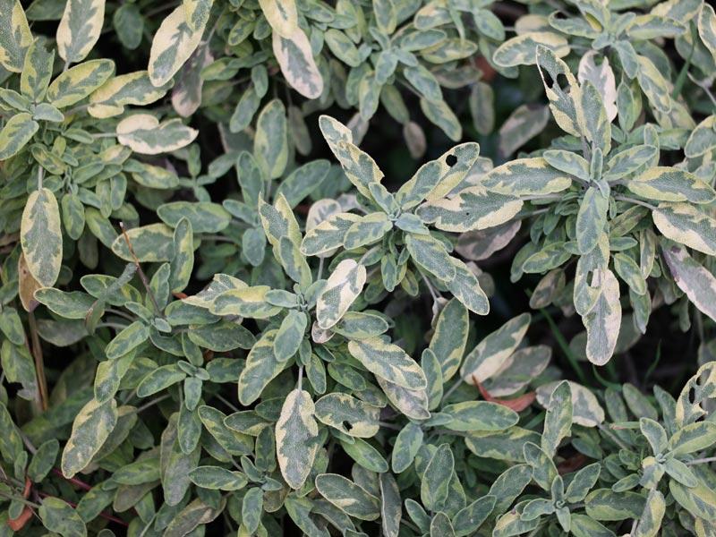 Salvia officinalis Icterina