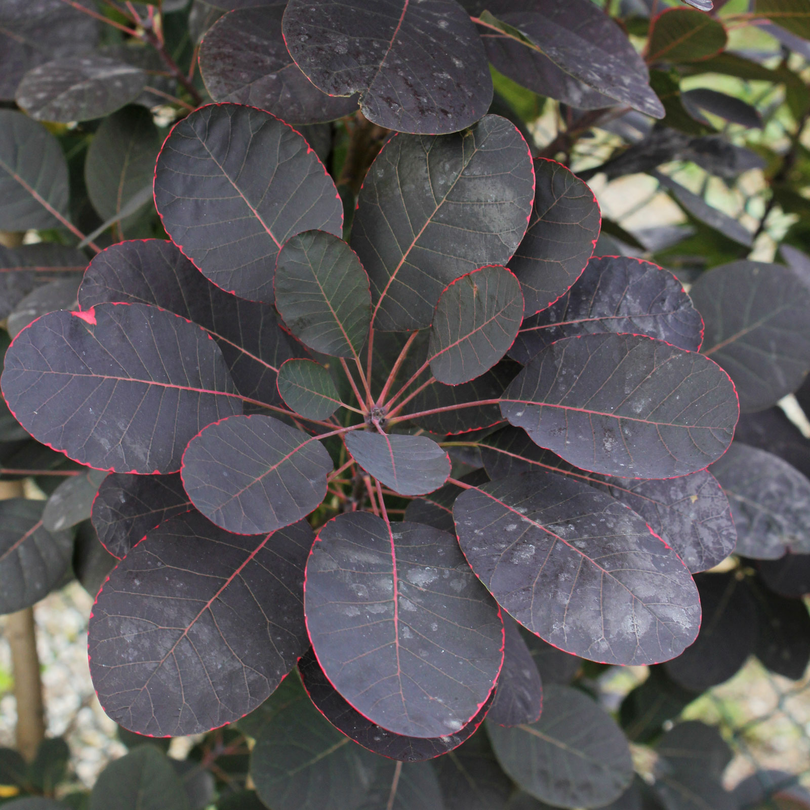 Cotinus coggygria