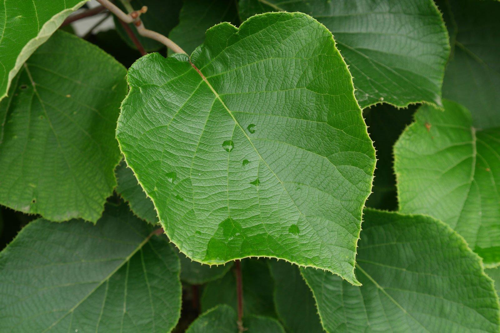 Actinidia deliciosa cv.