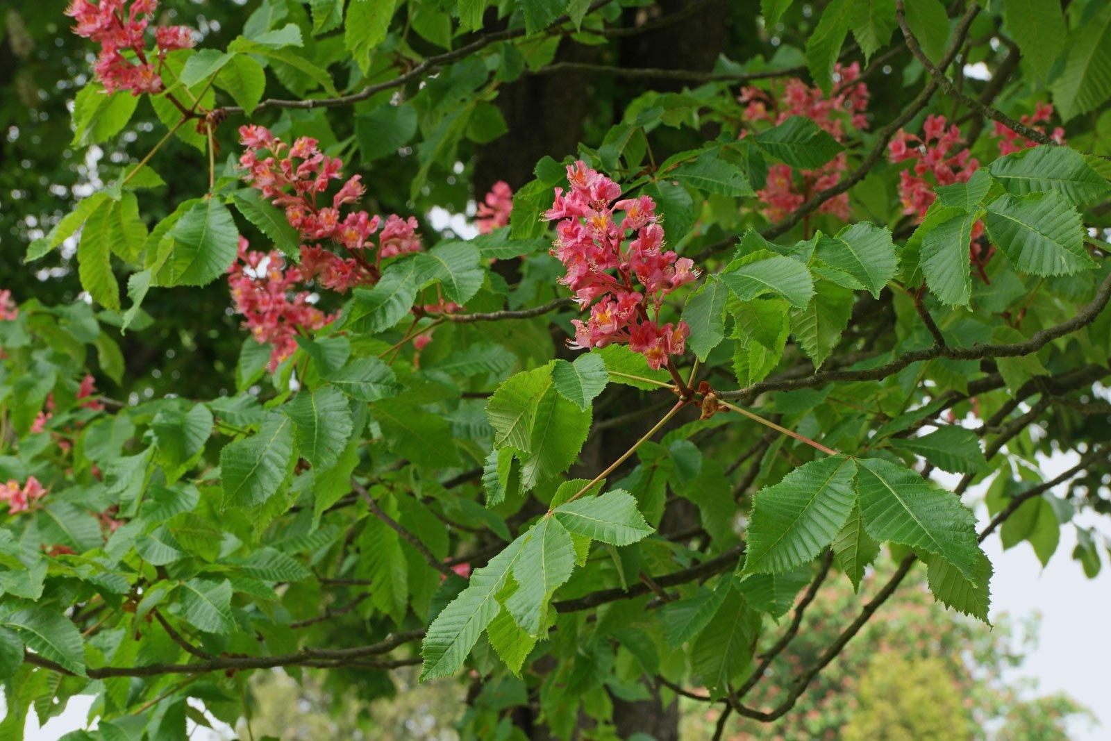 Aesculus × carnea cv.
