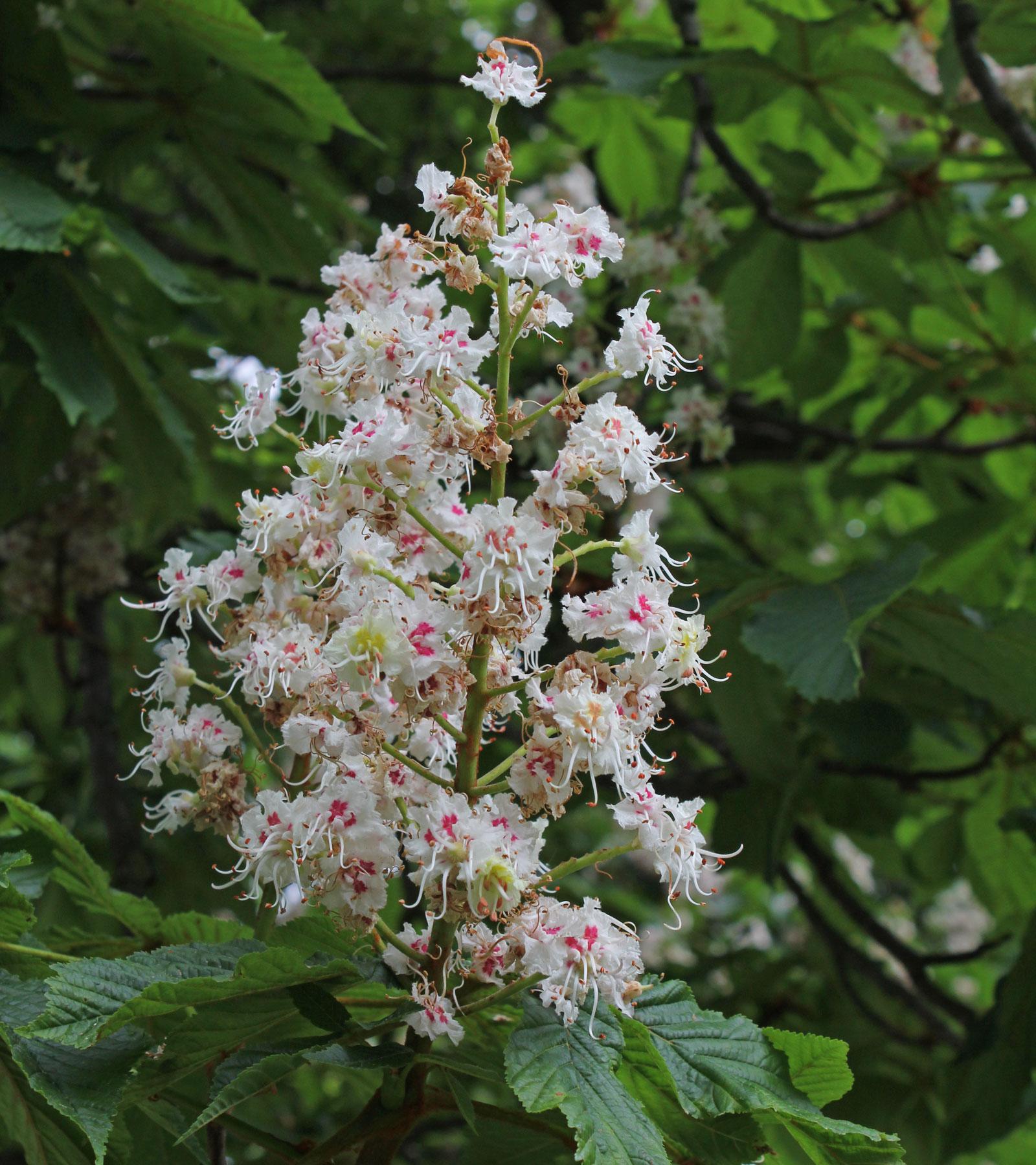 Aesculus hippocastanum 1