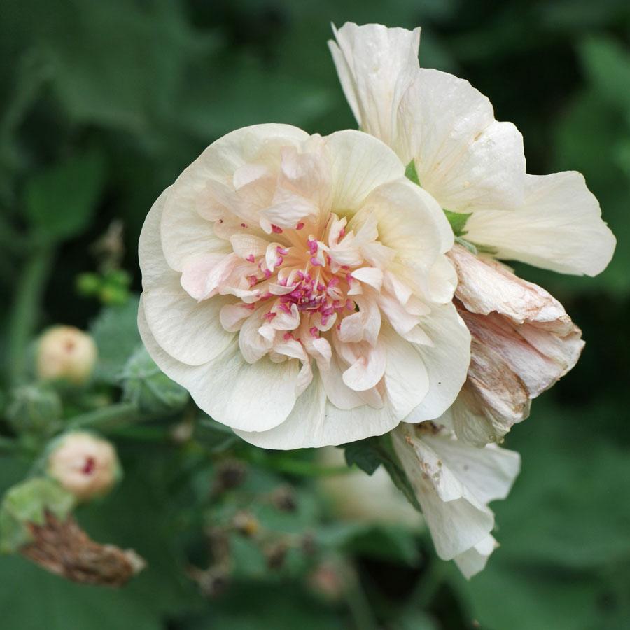 Alcalthaea suffrutescens Park Allee