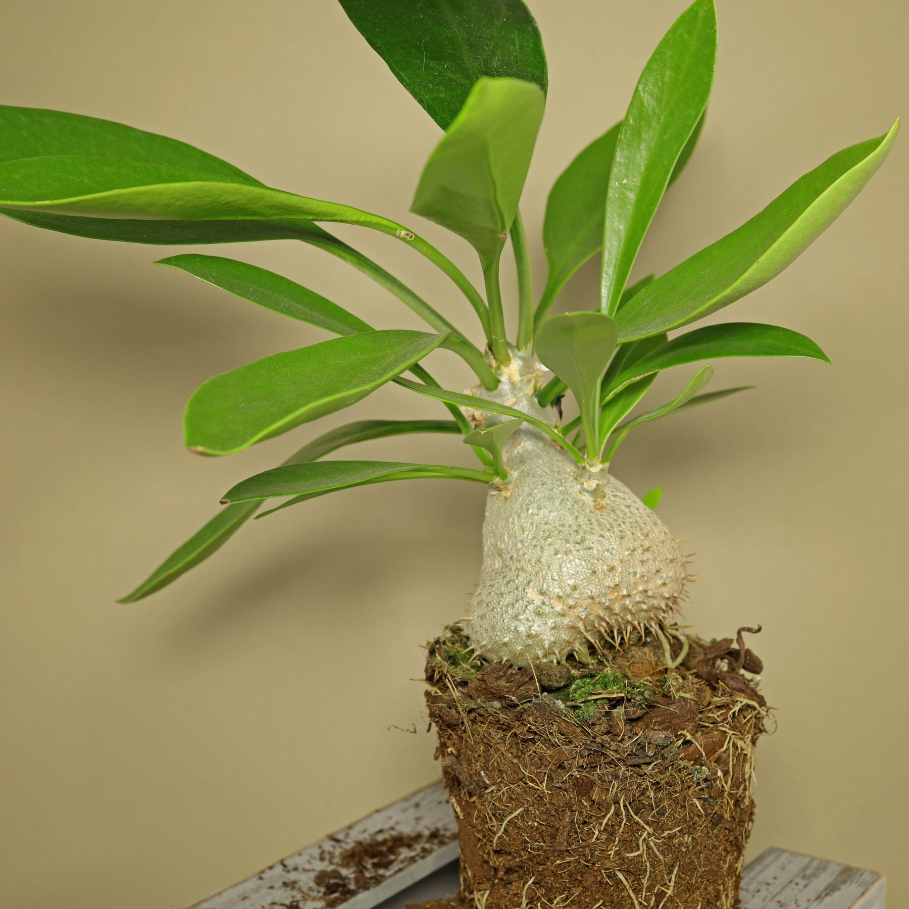 Ameisenpflanze Myrmecodia beccarii