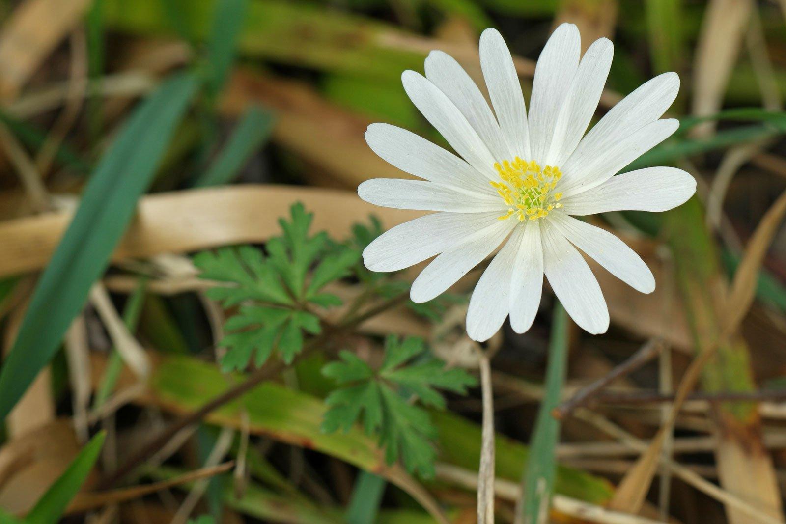 Anemone blanda cv.