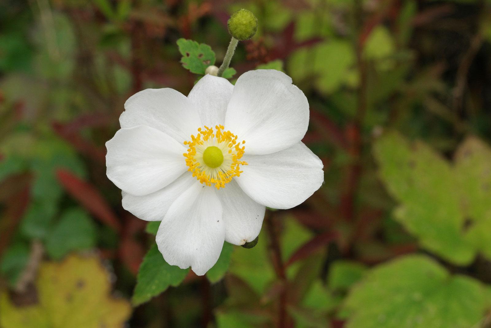 Anemone hupehensis Honorine Jobert