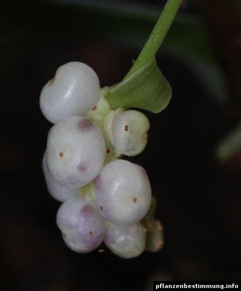 Anthurium Beeren