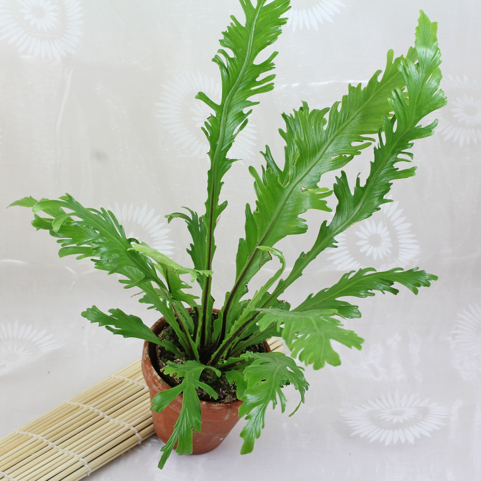 Asplenium nidus Fimbriatum