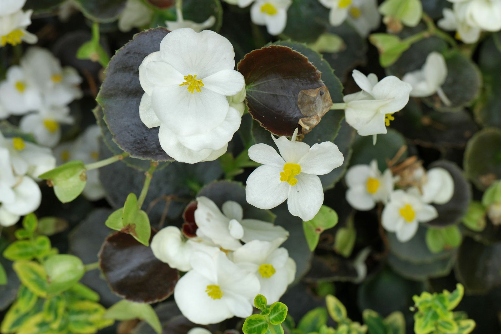 Begonia × semperflorens