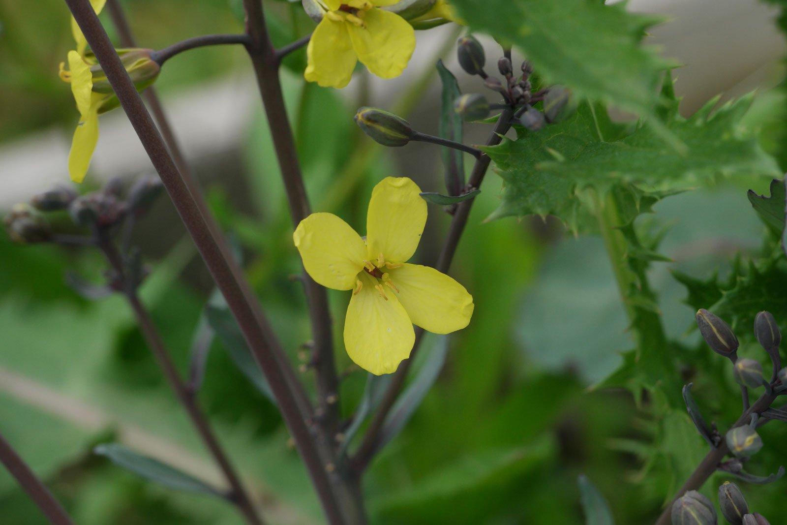 Brassica oleracea convar. capitata var. rubra
