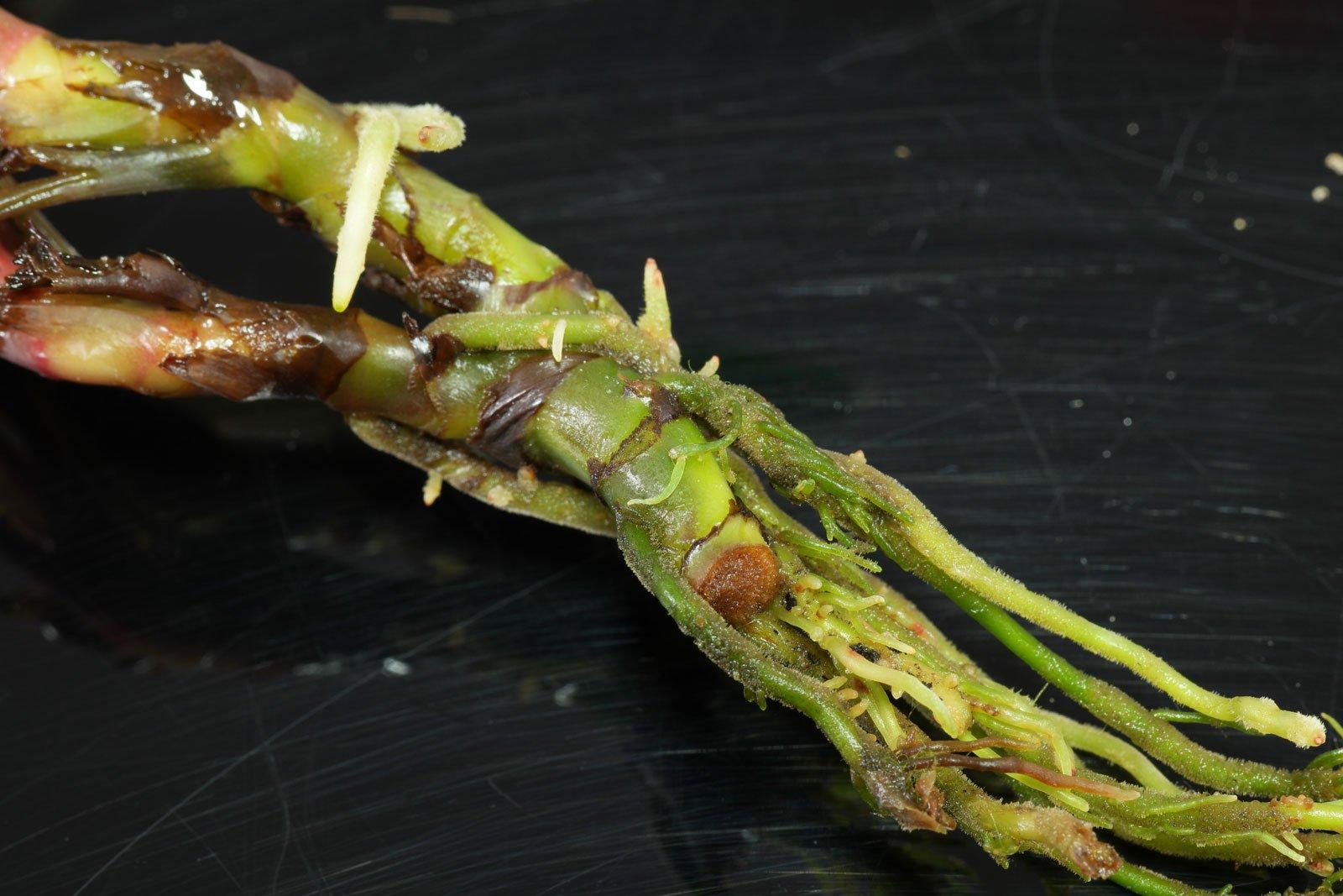 Bucephalandra Kapuas Hulu