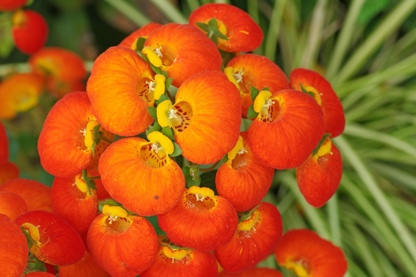 Calceolaria cv.