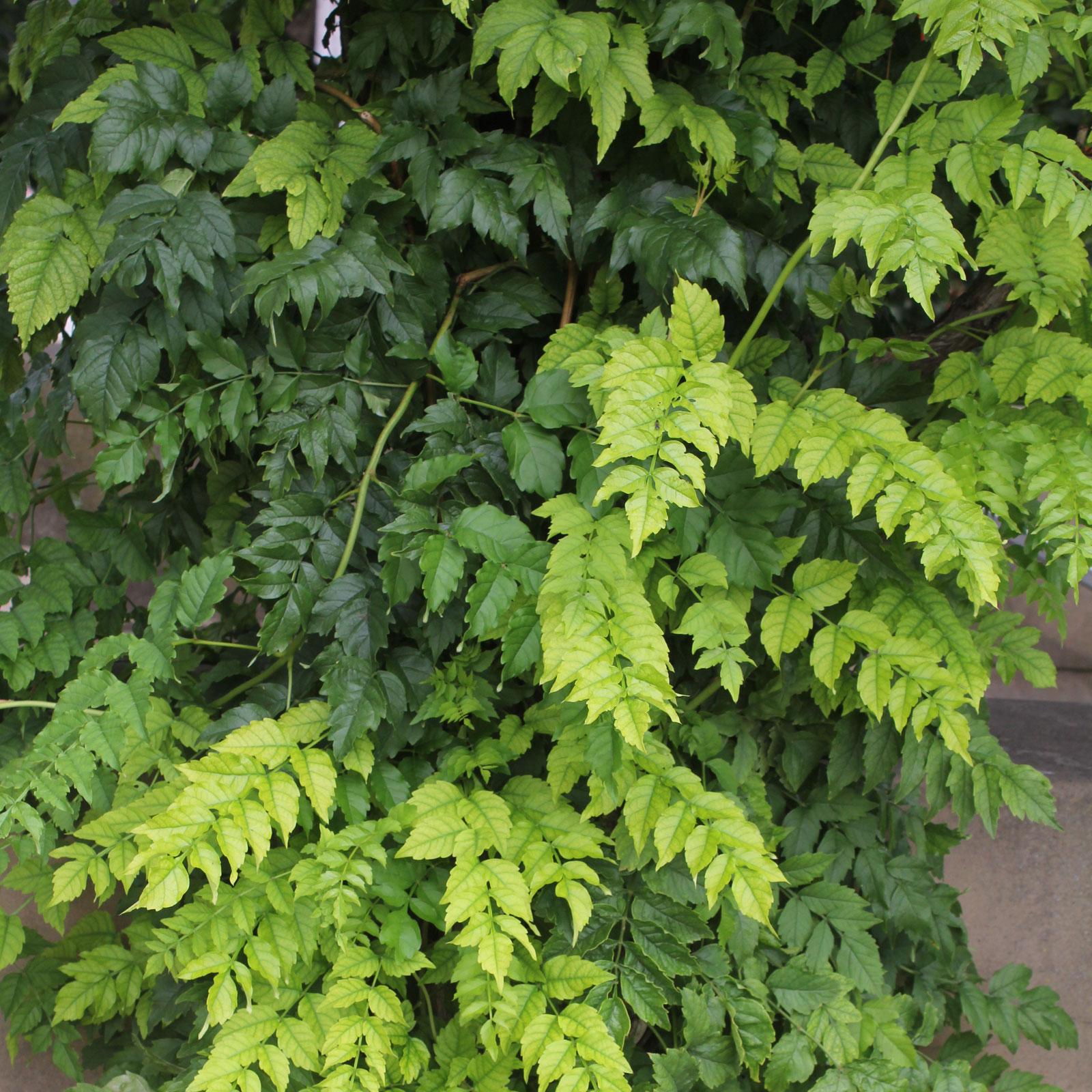 Campsis radicans cv.