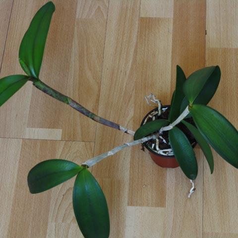 Cattleya-Hybride