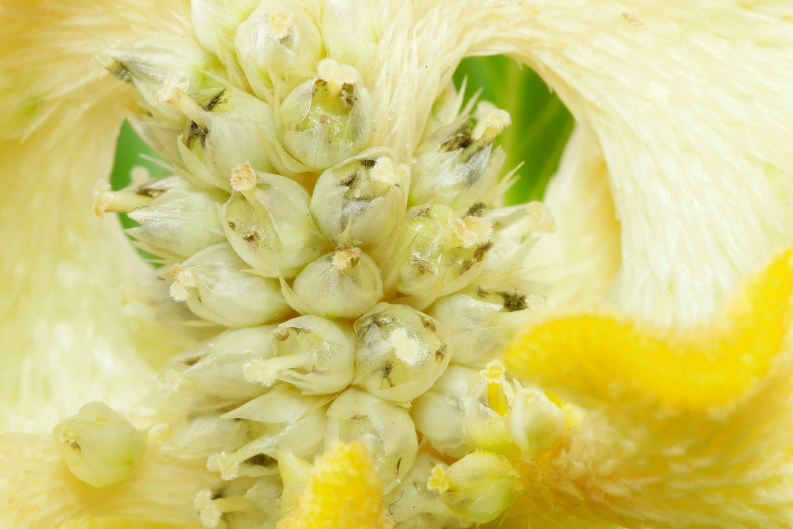 Celosia argentea Cristata