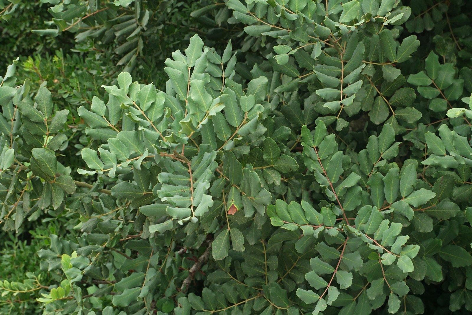 Ceratonia siliqua