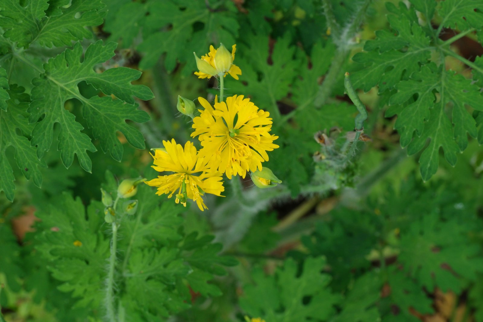 Chelidonium majus Laciniatum