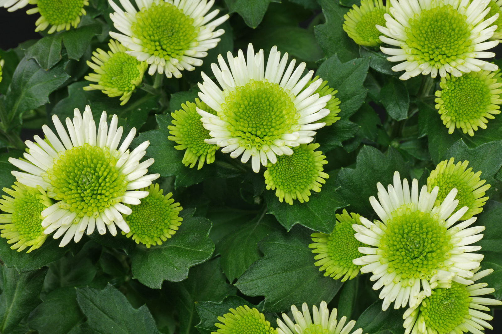 Chrysanthemum Splash Meadow