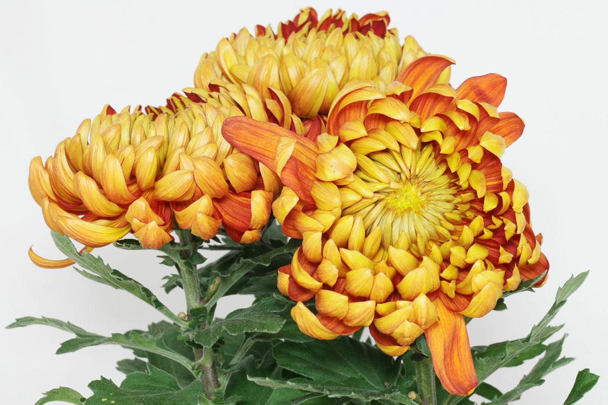 Chrysanthemum cv