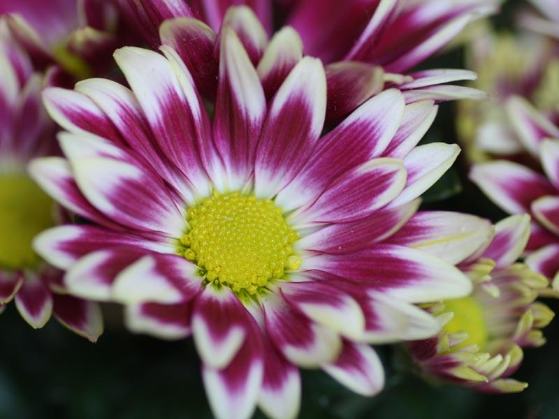 Chrysanthemum indicum pink