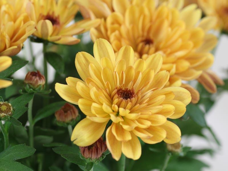 Chrysanthemum indicum yellow