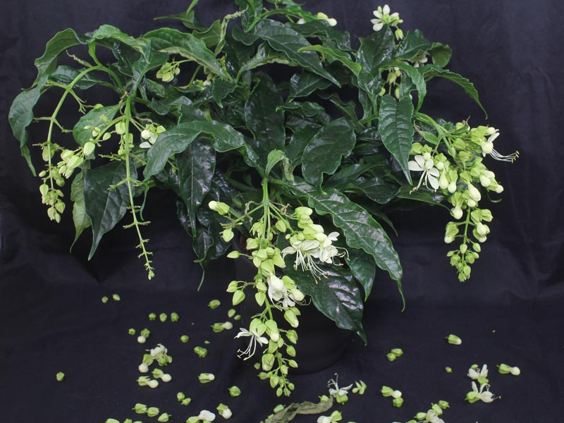Clerodendrum wallichii