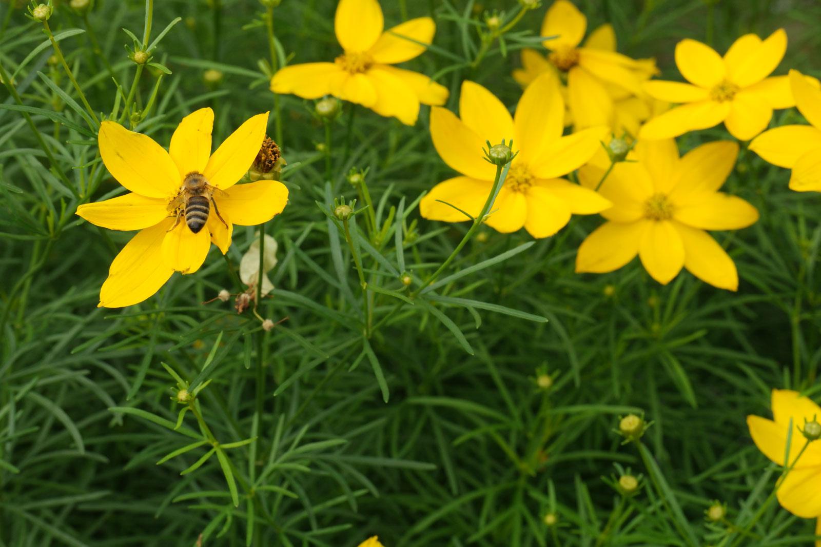 Coreopsis verticillata cv.