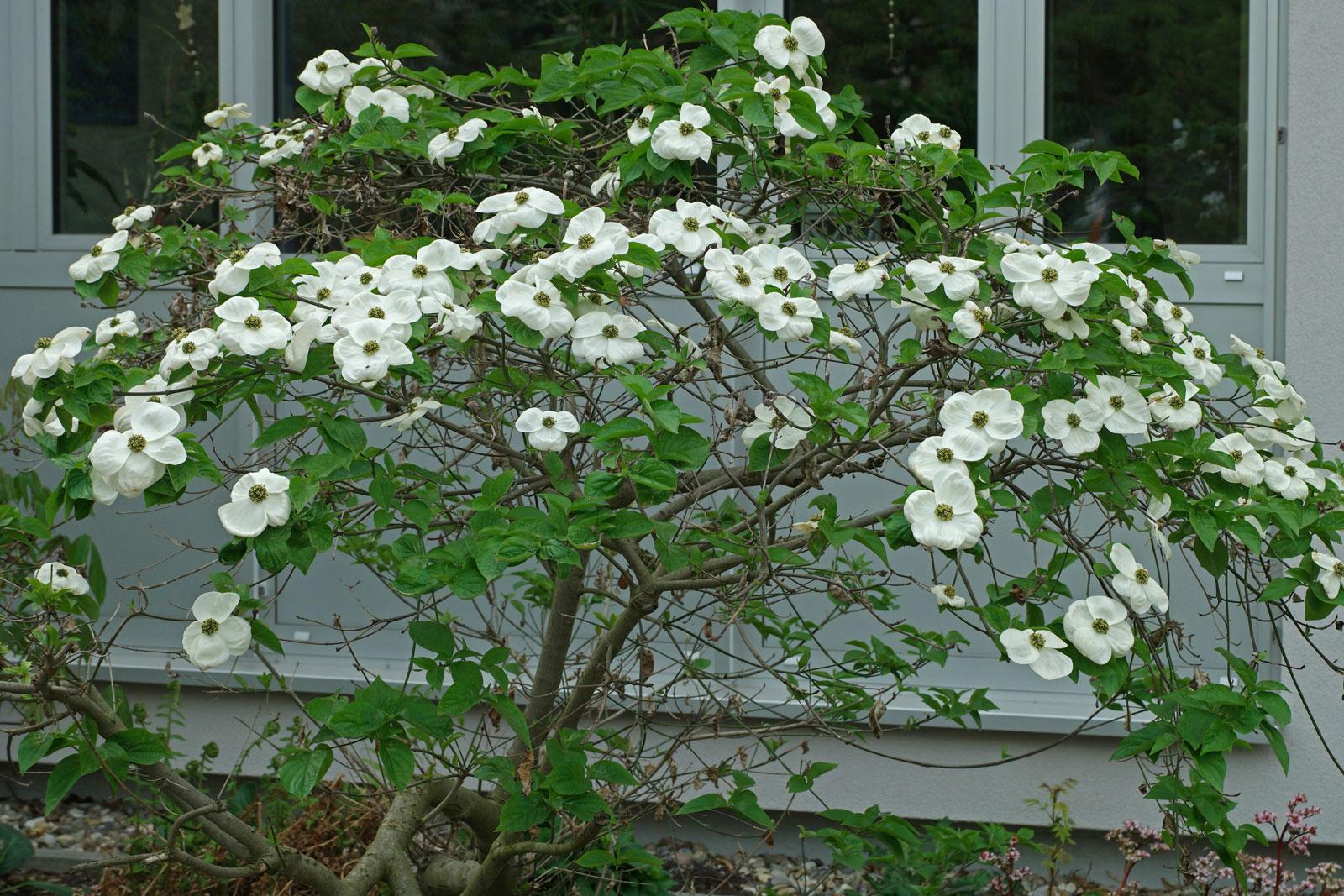 Cornus nuttallii cv.