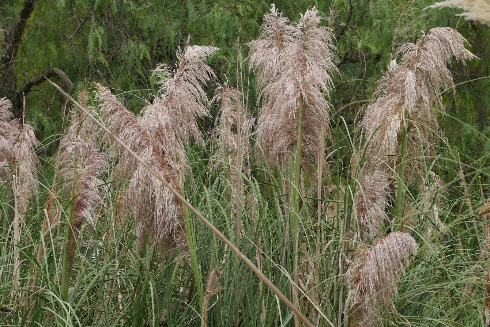 Cortaderia selloana cv.