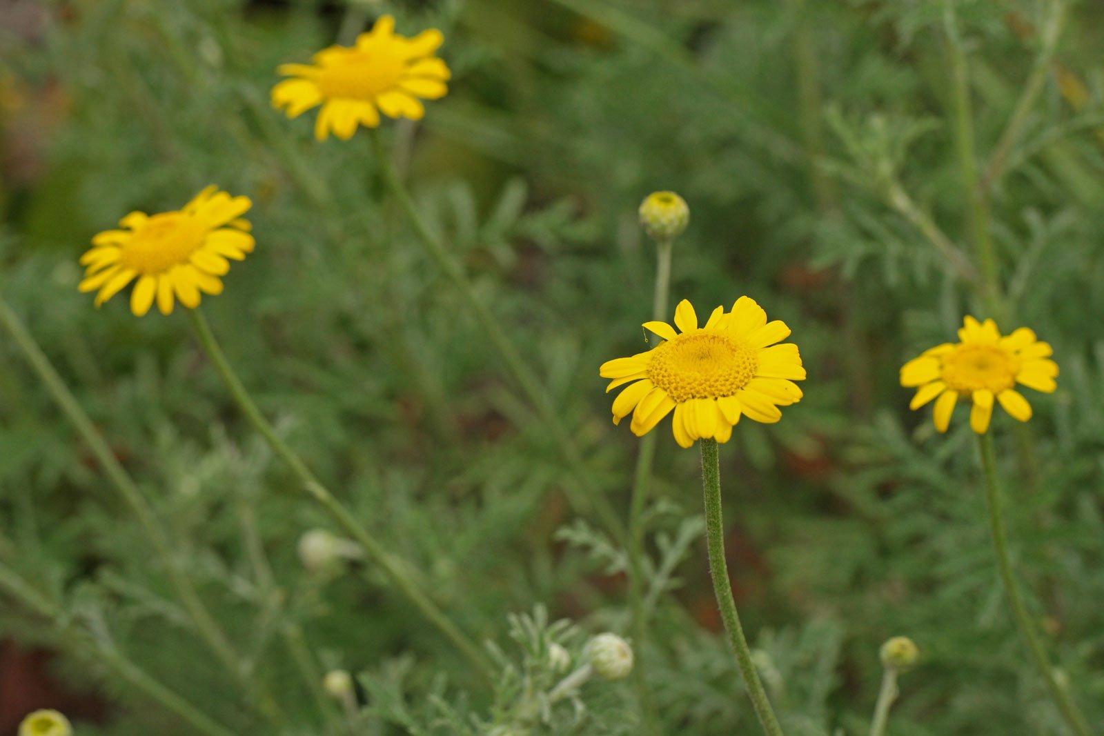 Cota tinctoria cv.
