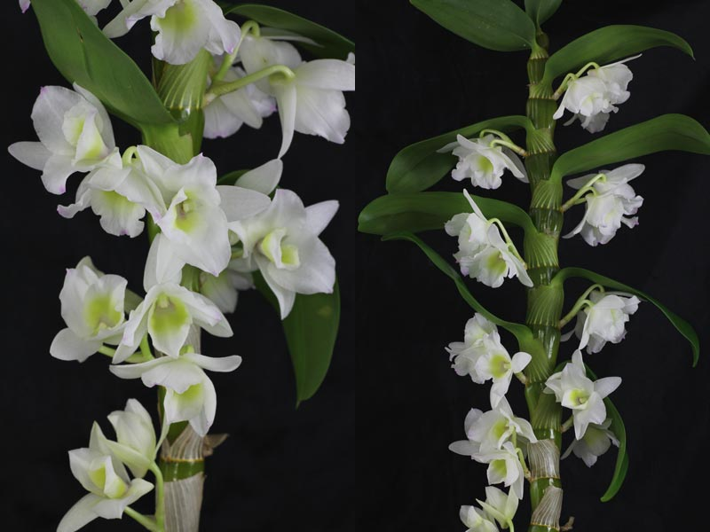 Dendrobium nobile-Hybride