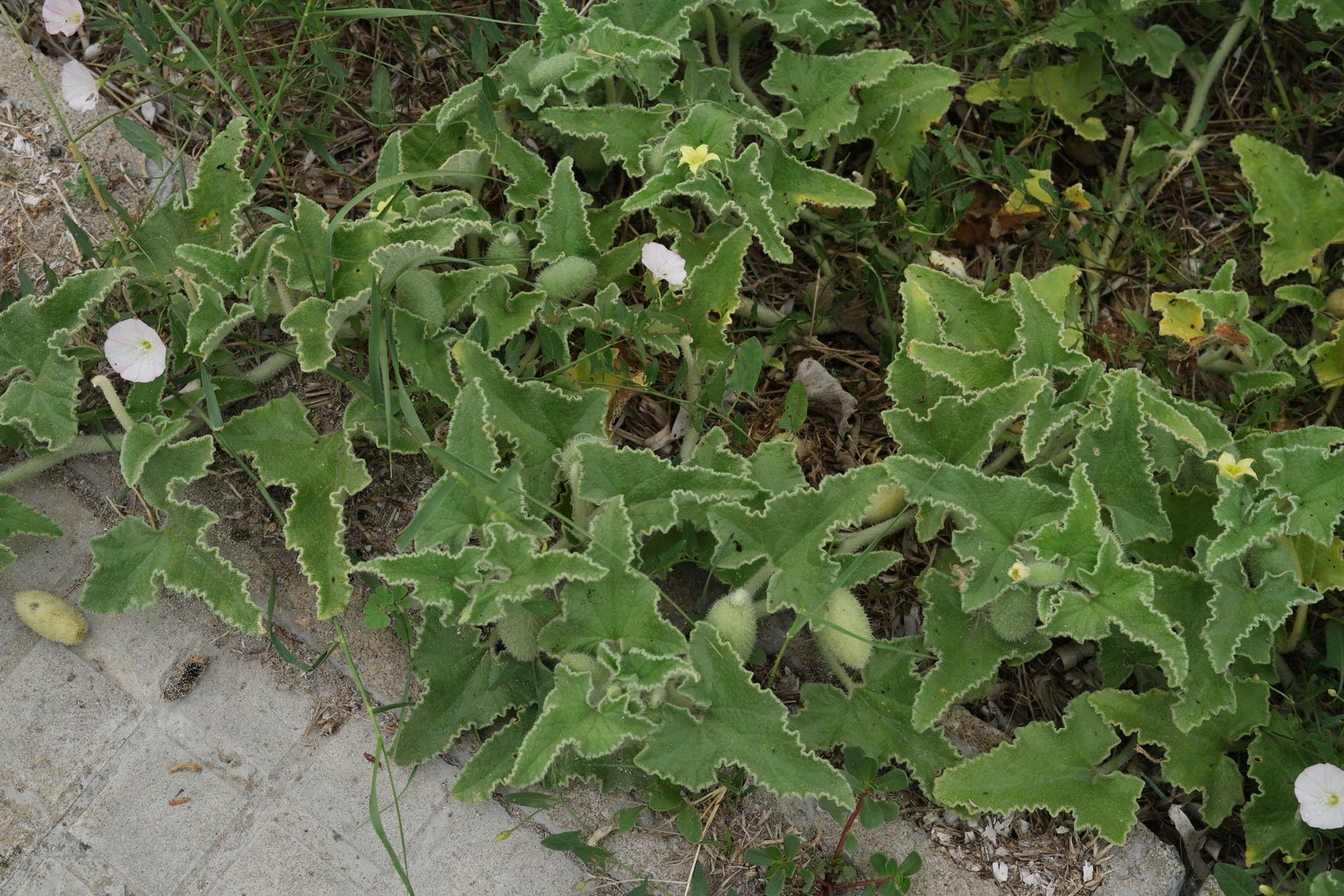 Ecballium elaterium