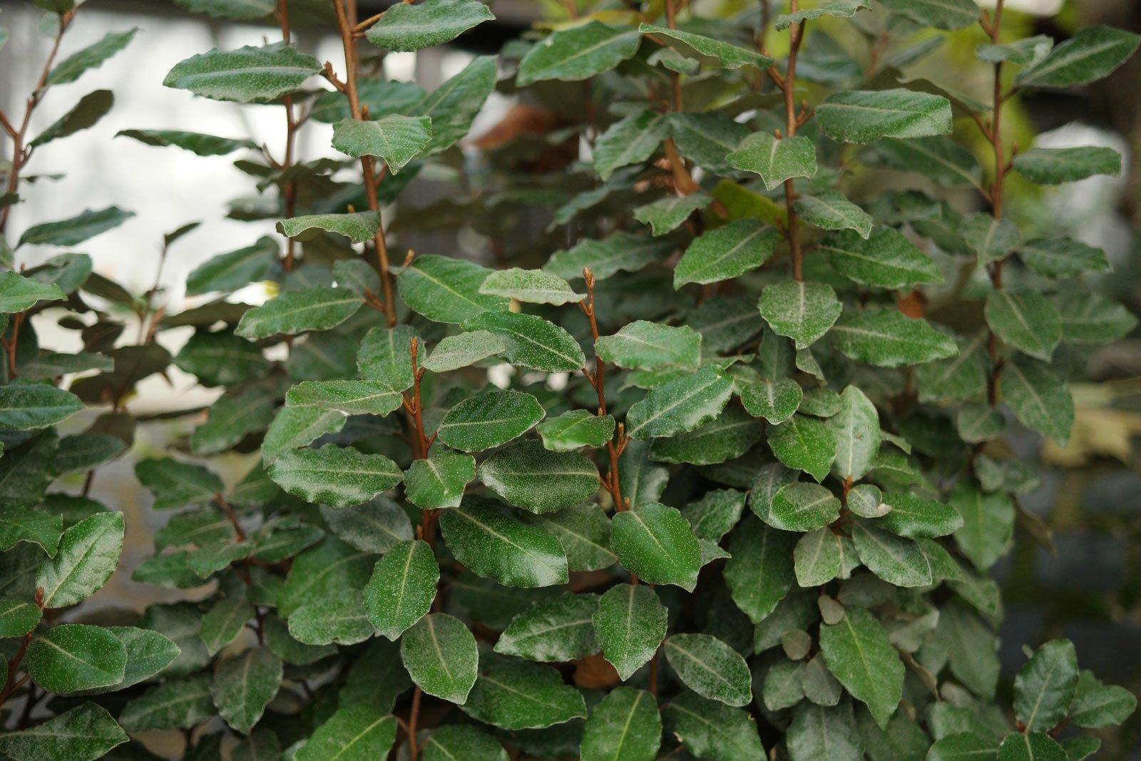 Elaeagnus × ebbingei