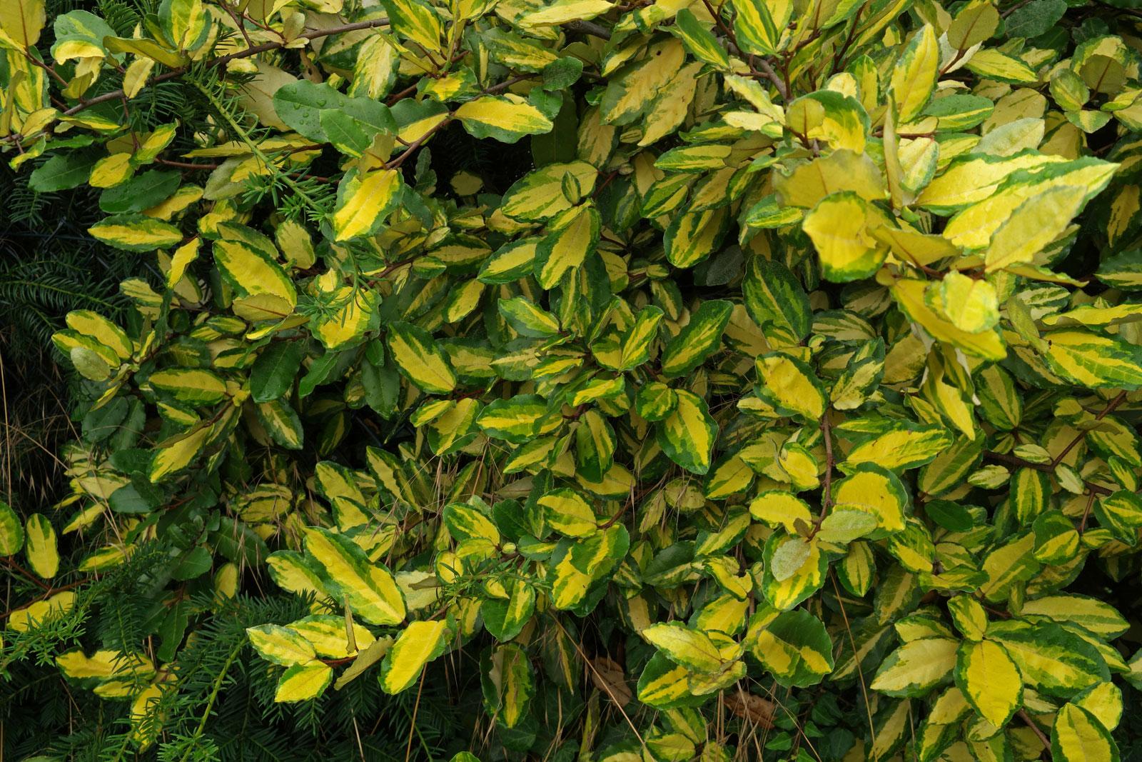 Elaeagnus pungens Maculata