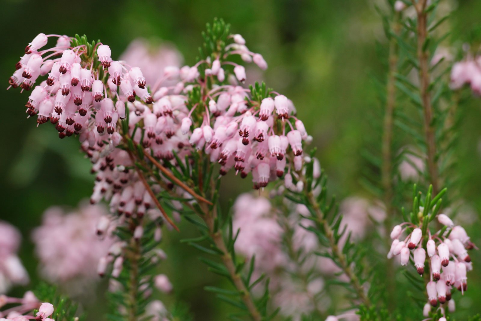 Erica multiflora